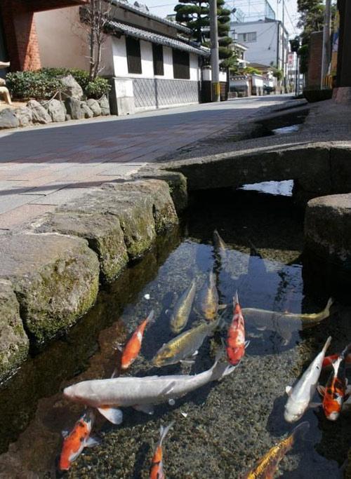 Đàn cá Koi bơi dưới cống.