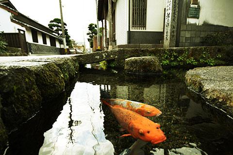 Cá chép, cá Koi màu sắc rực rỡ dưới cống ở thành phố Shimabara.
