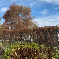 Hiện tượng lạ khiến cây đổi màu nửa nâu nửa xanh