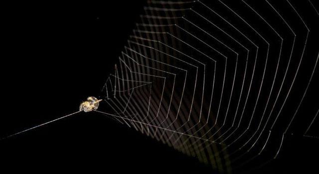 Hình ảnh nhện súng cao su nằm chờ con mồi.