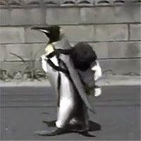 """Chú chim cánh cụt đáng yêu nhất """"Hệ Mặt trời"""", tự mang balo đi chợ mua cá"""