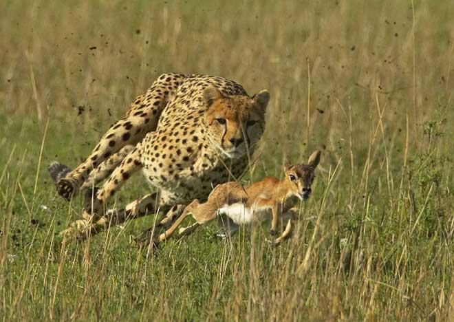 Báo Cheetah và linh dương, chúng luôn săn đuổi nhau trên đồng cỏ.