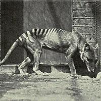 Giải mã bí mật về hổ Tasmania đã tuyệt chủng