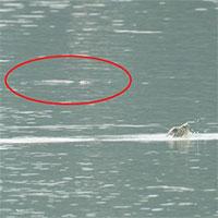 Phát hiện bất ngờ: Hai cá thể rùa Hoàn Kiếm cùng nổi lên ở hồ Đồng Mô