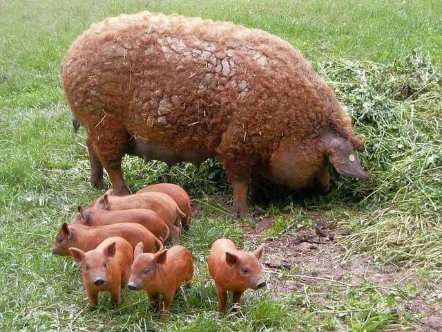 Mangalica là một trong những giống lợn béo nhất thế giới.