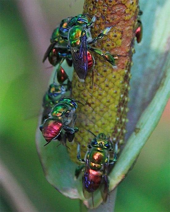 Loài ong này không hề tạo ra mật ong như những người họ hàng của chúng