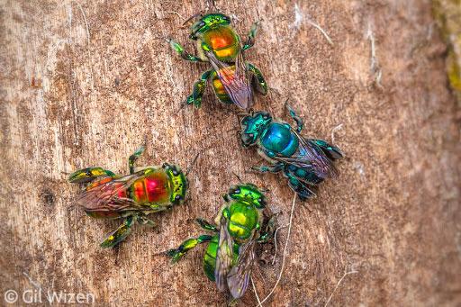 Chúng sẽ dũng chân trước để thu thập hương thơm và tích trữ chúng vào các túi đặc biệt ở hai chân sau.