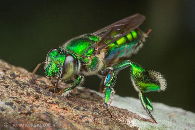 Có khoảng 200 loài ong phong lan được con người biết tới