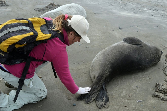 Hải cẩu voi Nam Cực