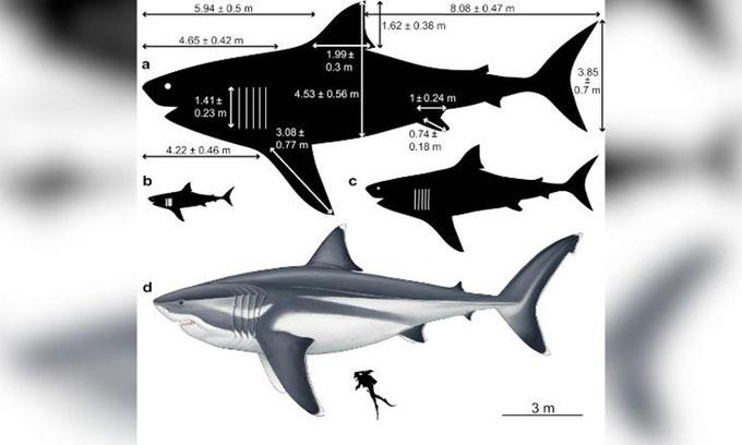 Kích thước các bộ phận của một con cá mập Megalodon dài 16m.