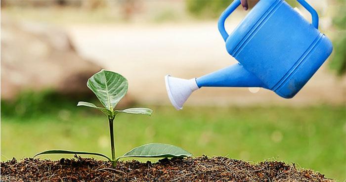 Để biết khi nào cây cần nước, hãy áp ngón tay bạn vào nền đất trong chậu.
