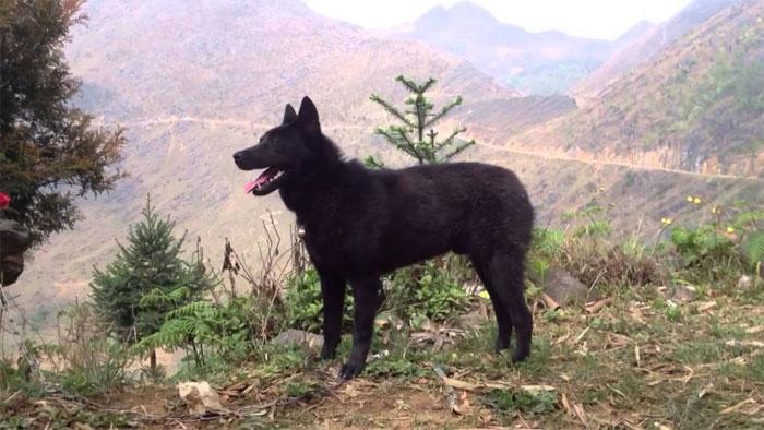 Chó Mông Cộc sinh sống rải rác ở vùng núi phía Tây Bắc của nước ta.