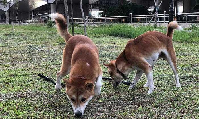 Giống chó này được nuôi để giúp người nông dân trông coi nhà cửa