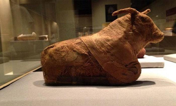 Trong văn hóa Ai Cập, bò là loài vật trung tâm trong văn hóa Ai Cập cổ đại.