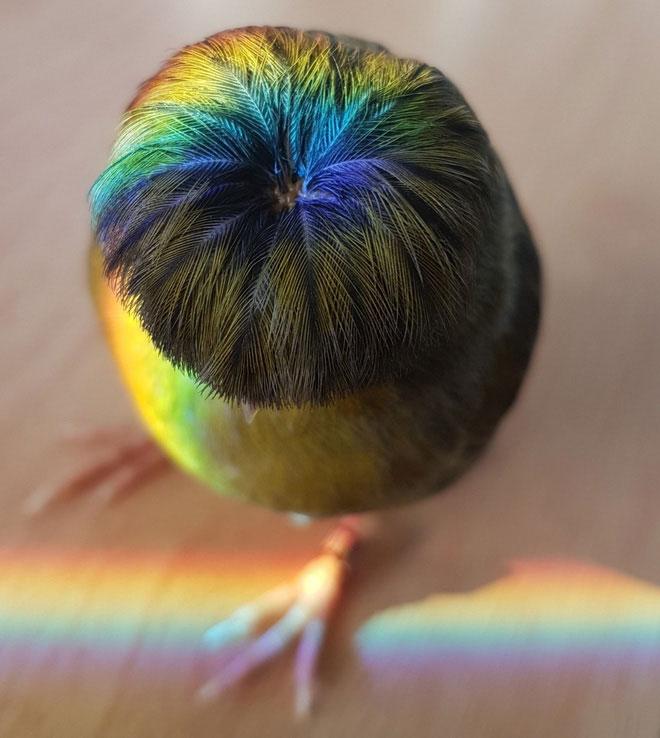 Tên khoa học của loài chim hoàng yến này là Serinus canaria domesticus.