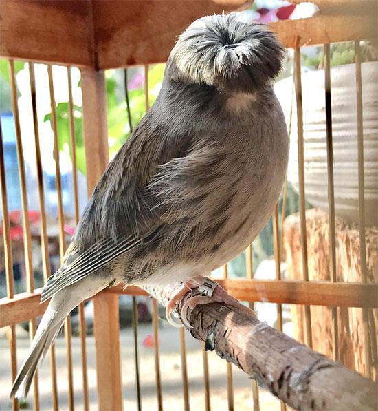 Những chú chim hoàng yến Gloster Canary có tuổi thọ ước tính từ 7-12 năm.