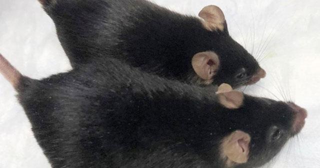 Những con chuột được biến đổi gien vẫn duy trì khối lượng cơ khi vào không gian