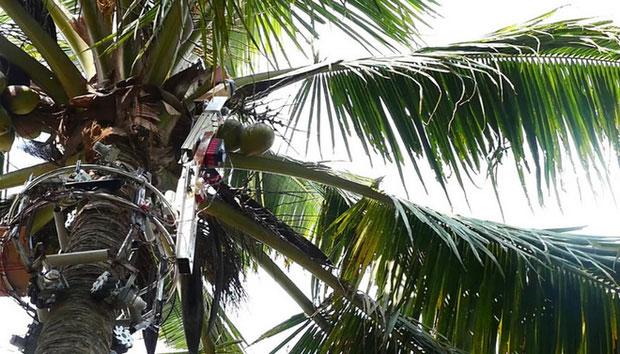 Amaran sẽ leo tới đỉnh cây cho tới khi chạm đến những trái dừa