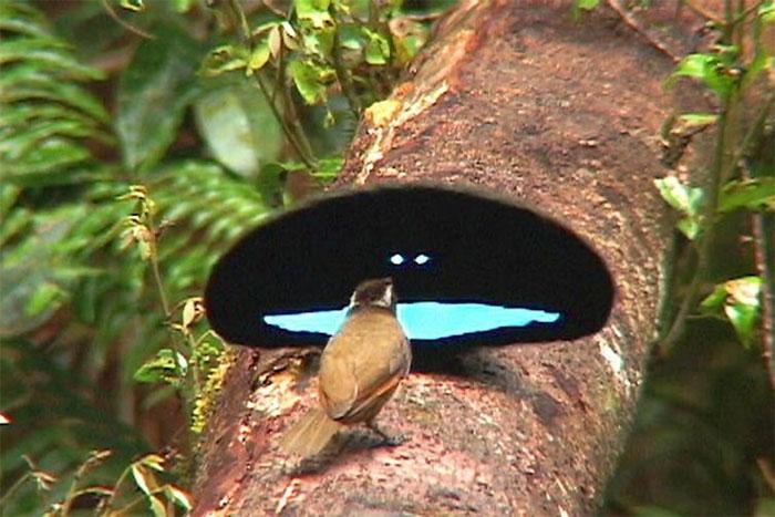 Con chim đực đang quyến rũ chim cái bằng bộ lông kỳ bí của mình.
