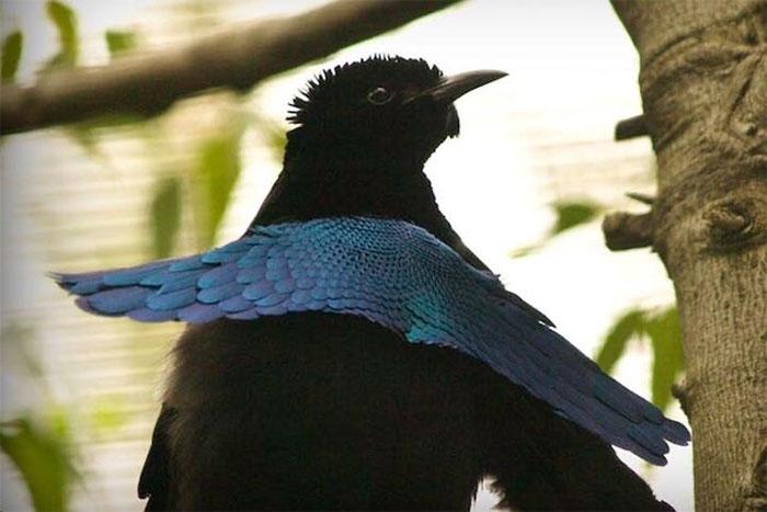 Chim thiên đường đực có bộ lông siêu đen.