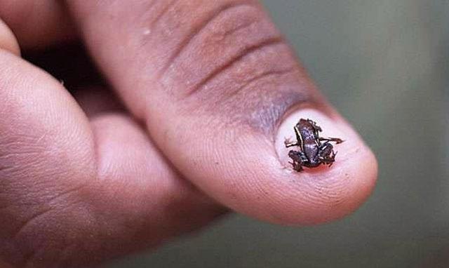Một cá thể ếch Paedophryne amanuensis nằm gọn trên móng tay con người.