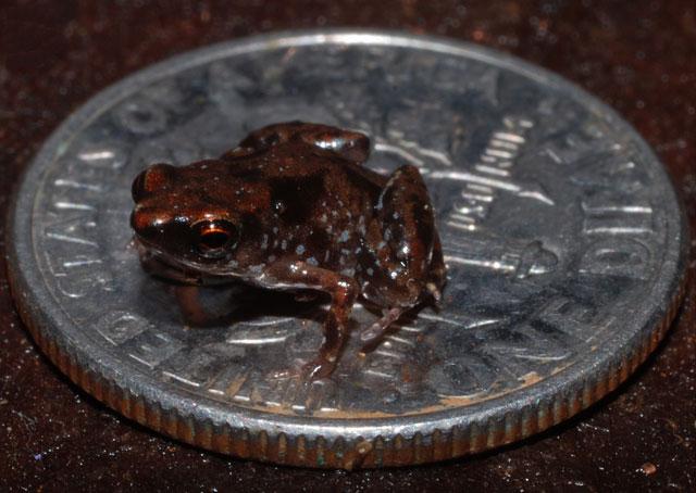 Ếch Paedophryne amanuensis nhỏ hơn cả kích thước của một đồng xu của Mỹ