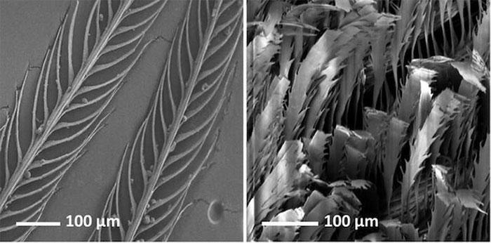 Lông vũ của chim thiên đường (phải) dưới kính hiển vi, so với lông vũ thường (trái).