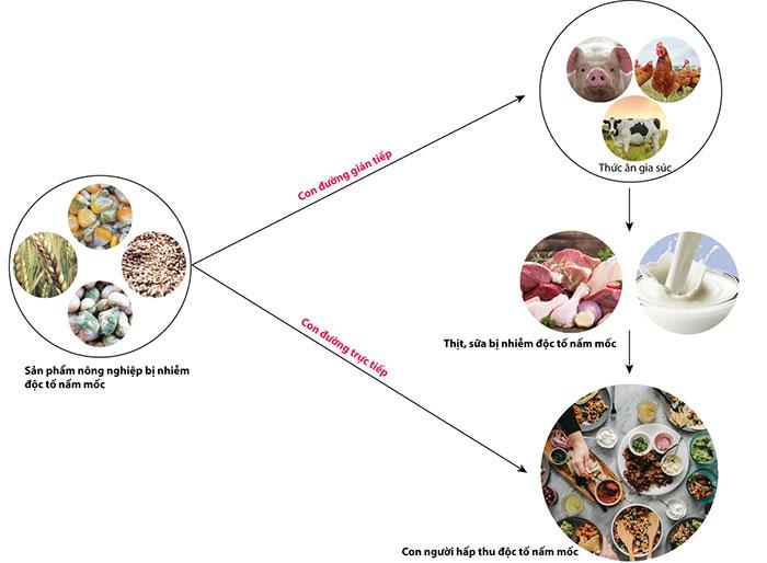 Con đường hấp thu độc tố nấm mốc ở người từ các sản phẩm nông nghiệp.