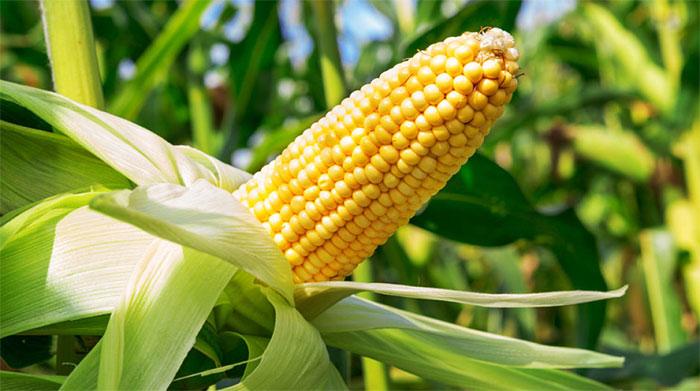 Cellulose chỉ chiếm khoảng 10% hạt ngô, vì thế 90% còn là chất dinh dưỡng.