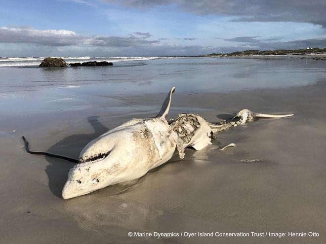 Xác cá mập trôi dạt vào biển