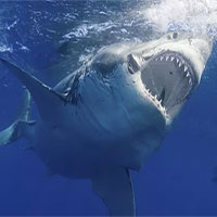"""Đây là sinh vật biển chỉ cần bơi ngang cũng khiến cá mập trắng lớn sợ hãi mà """"chạy mất dép"""""""