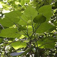 Loài thực vật tiết chất độc như bọ cạp