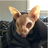 Sự thật về chú mèo không có mắt gây bão mạng