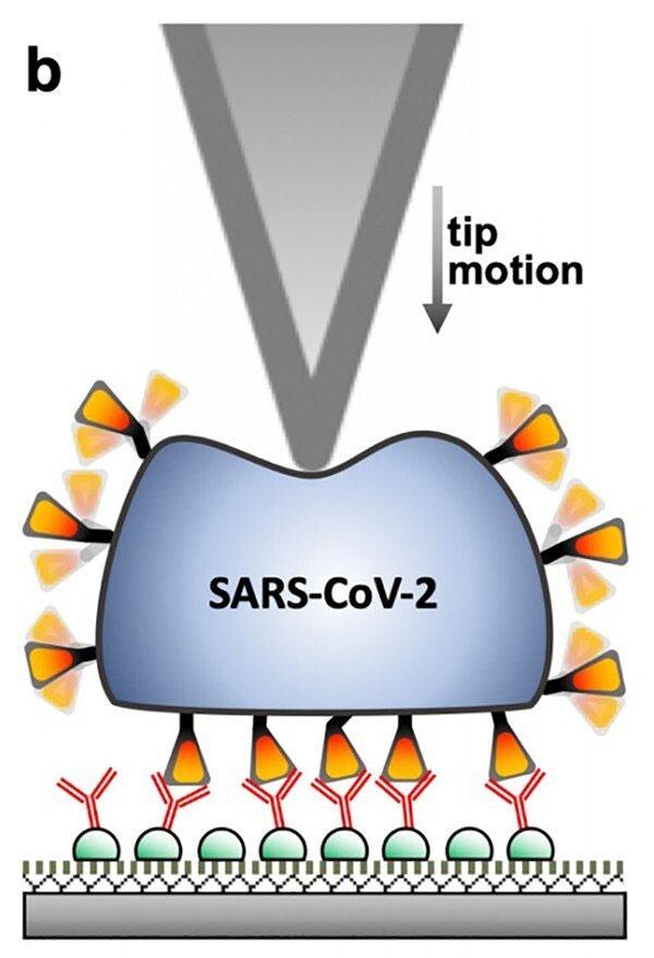 Thí nghiệm cho thấy sức đàn hồi và khả năng phục hồi của Sars-CoV-2.