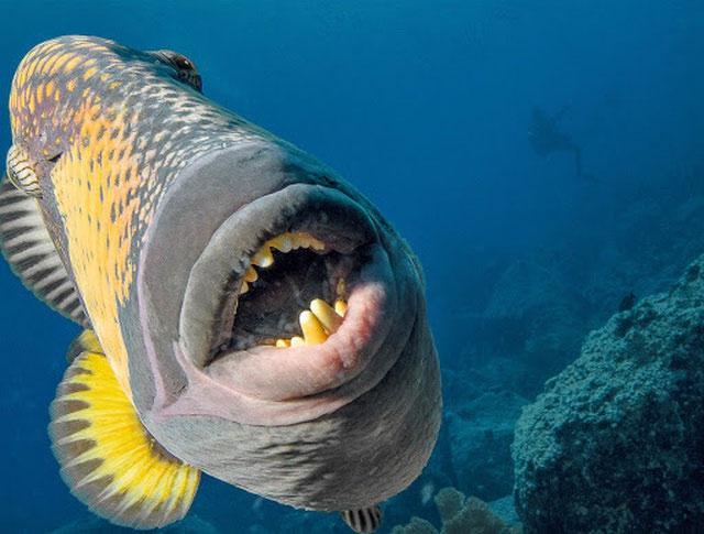 Cận cảnh hàm răng sắc của loài cá nóc có tên khoa học là titan-triggerfish.