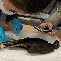Người Ai Cập cổ bắt hàng triệu chim săn mồi để ướp xác