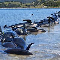 Bí ẩn đằng sau hiện tượng cá voi mắc cạn hàng loạt