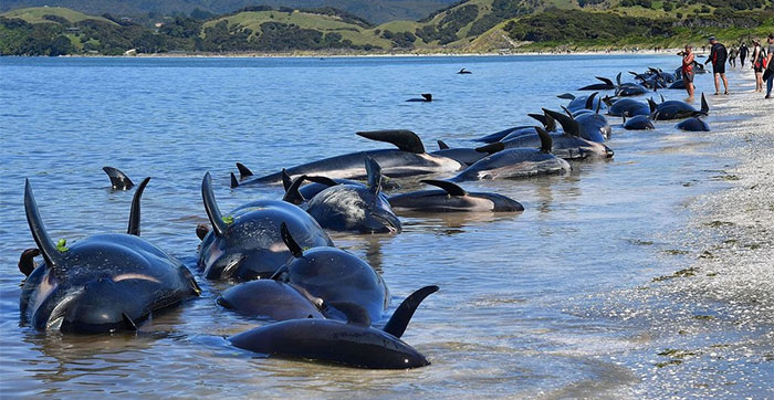 Cá voi hoa tiêu mắc cạn tại New Zealand.