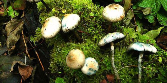 Có khoảng 200 loại nấm có chứa hợp chất psilocybin.