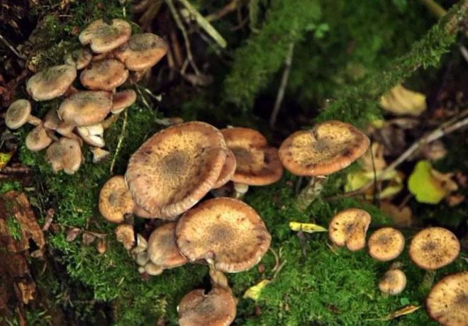 Hầu hết các loại nấm tạo ra psilocybin đều mọc trên gỗ mục nát hoặc phân.