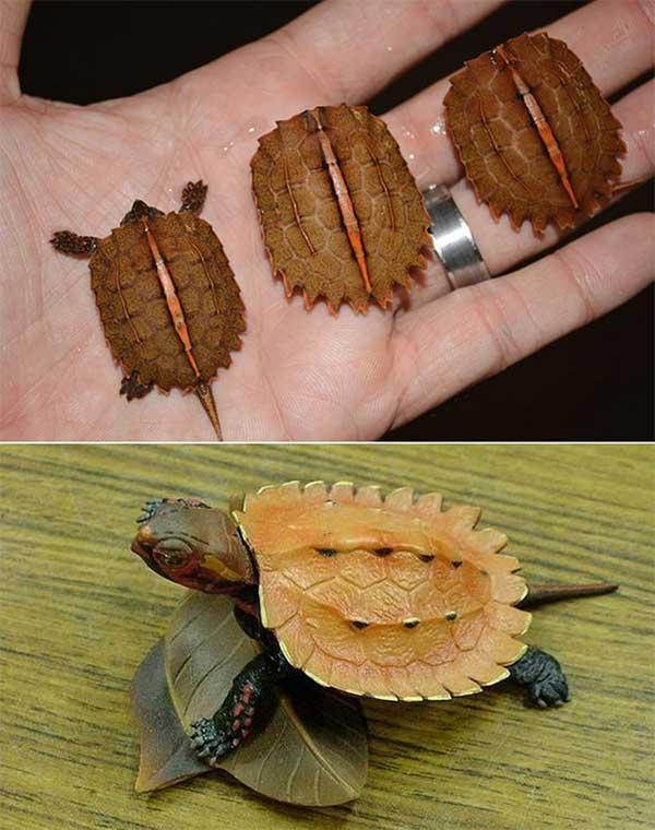 Rùa lá ngực đen