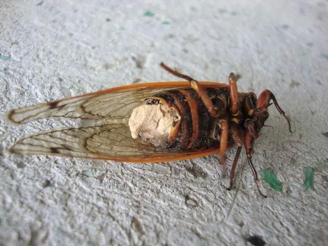 Nấm Massospora tạo ra psilocybin để khiến ve sầu trở thành thây ma để tiếp tục giao phối.