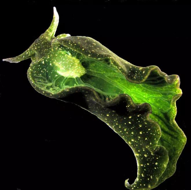 Sên biển xanh có món ăn ưa thích là là tảo biển.