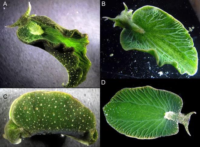 Tảo Vaucheria litorea và sên biển xanh cũng có một mối quan hệ cộng sinh.