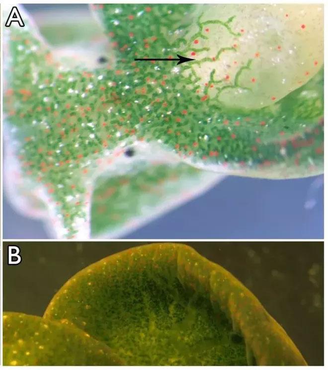 Sên biển xanh có thể tích hợp một phần gene nhân tảo mã hóa protein lục lạp vào gene của chính nó.