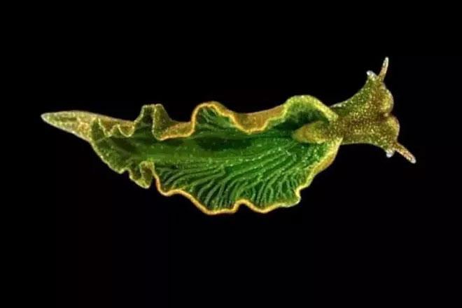 Đây là một loài động vật có khả năng quang hợp của thực vật.