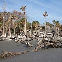 """""""Rừng ma"""" lan rộng trên bờ biển North Carolina"""
