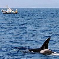 Đây chính là động cơ khiến cá voi sát thủ tấn công tàu thuyền