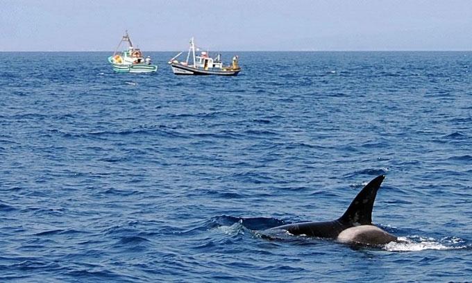 Cá voi sát thủ tấn công tàu thuyền liên tiếp ngoài khơi Tây Ban Nha.