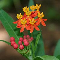 Loại cây độc có thể gây hôn mê nếu cứ thấy đẹp là hái